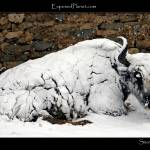 """A hard life: Snowy yak in Tibet"" by ExposedPlanet"