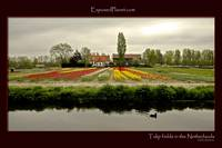 Dutch farm with Tulip fields and duck