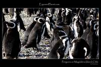 Magellan Penguins on Magdalena Island, Chile
