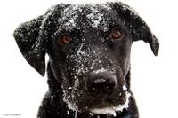 Black Dog with Snow