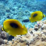 """Yellow Oval-Spot Butterflyfishes"" by takau99"