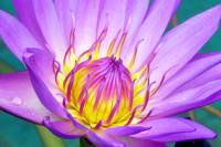 Tropical Water Lily Flower