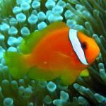 """""""Tomato Clownfish"""" by takau99"""