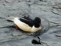 Goosander on the River Ness