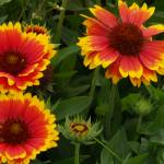 """Red, yellow and green flower"" by simonadams"