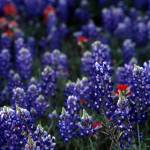 """blue bonnets"" by RichardBaumer"