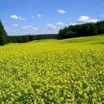 """Rapeseedfield in Finland"" by swisscan"