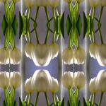 """Tulip Study No 10"" by anthonyhuss"