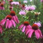 """purple cone flower cleaned and cropped"" by RichardBaumer"