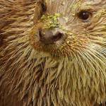 """""""Otter with moss on face"""" by KellyFoxhall"""