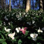 """Row of Trillium"" by RichardBaumer"