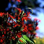 """Royal Catchfly"" by RichardBaumer"