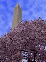 Monument and Blossoms