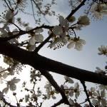 """""""Tree Blossom"""" by diavolo_felice"""