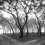 """Live Oaks"" by esotericus"