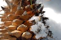Wintery Pinecone