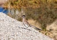 Roadrunner at the Yuma Territorial Prison