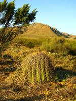 Barrel Cactus in the Morning
