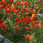 """""""Poppies"""" by ericksonsr"""