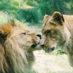"""lion love"" by elizabethdoherty"
