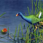 """Purple Gallinule and Spatterdock Fruit"" by bohanart"