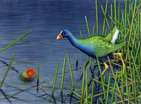 Purple Gallinule and Spatterdock Fruit