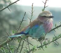 Lilac Breasted Roller - Serengeti