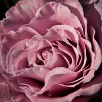 A Rose for My Mother Art Prints & Posters by Donna Corner Holmes