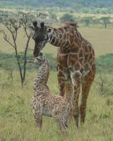 Sibling Affection for Newborn Giraffe - Serengeti