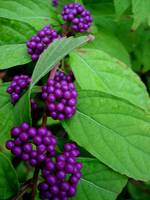 purple beauty berries_1 (best)