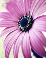 purple daisy distressed copy
