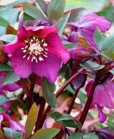 Red Hellebore Welcomes Spring
