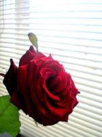 red rose by window v