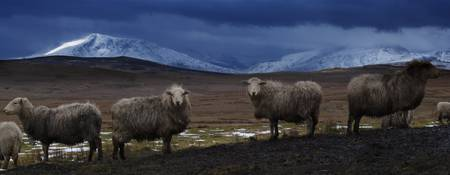Sheep by Llyn Aled