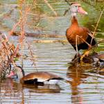 """Blackbelly Whistling Ducks #2"" by DAD"