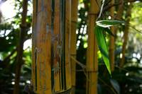 Yellow Bamboo