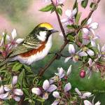 """CHESTNUT-SIDED WARBLER"" by bohanart"
