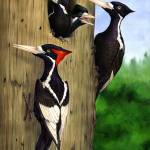 """Ivory-billed Woodpecker Family"" by bohanart"