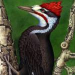 """PILEATED"" by bohanart"