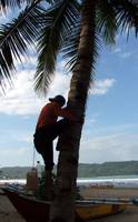 Coconut Farmers in Pangandaran beach_Photo by Argu