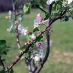 """Apple Blossoms"" by jones3006"