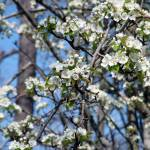 """""""Blossoming Pear Tree"""" by jones3006"""