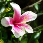 """Pink & white Hibiscus"" by AmberAnn"
