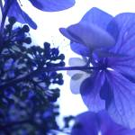 """""""紫陽花"""" by setsuna"""