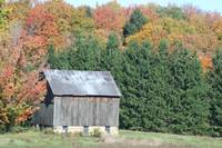 Fall Barn & Pine Trees
