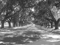 Boone Hall Avenue of Oaks