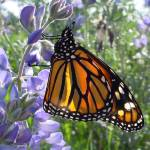 """Butterfly Monarch on Lupine"" by JeanDandy"