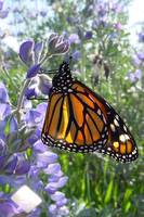 Butterfly Monarch on Lupine