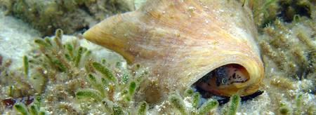 Queen conch eyes the photographer