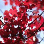 """red leaves"" by Karin_in_Paris"
